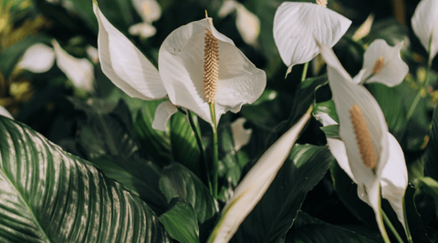 Peace Lily Flower Peace Lily Plant