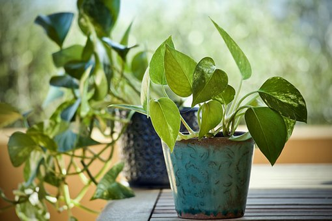 Growing Money Plant in Pots, Indoors at Home
