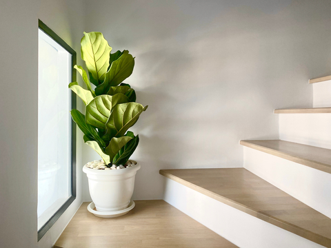 What conditions does the Fiddle Leaf Fig thrive in?