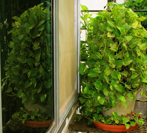Secrets to growing a bushy and healthy money plant