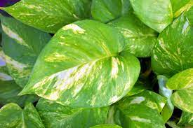 Homemade fertilizer for money plant in water