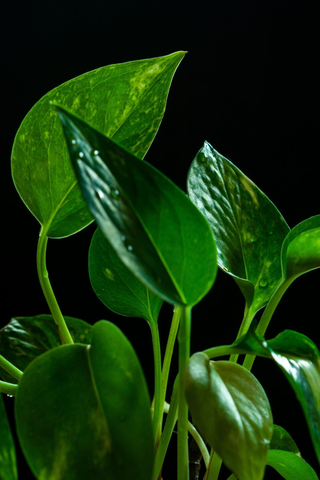 Your guide to growing a money plant at home