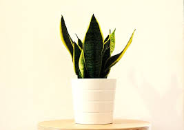 Care of Snake Plants