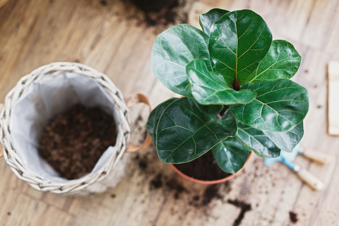 Identifying the Time and Way to Repot Fiddle Leaf Fig Plant