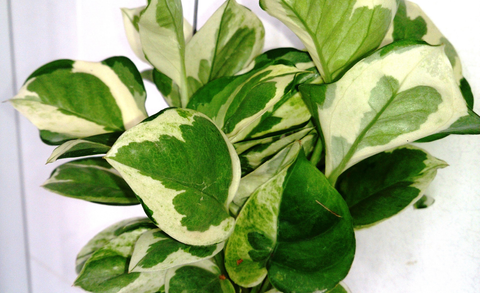 The money plant-benefits of a home refreshing indoor plant