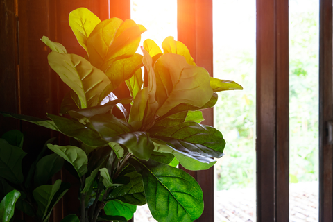 Fiddle Leaf Fig Care: Important Things to Remember