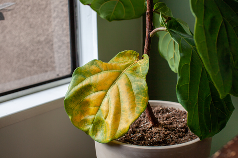 Avoid these while Caring for a Fiddle Leaf Fig