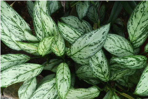 How to Grow & Care for Chinese Evergreen Plant