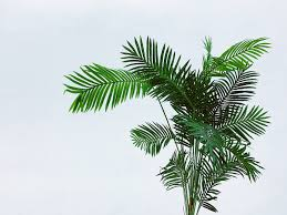 Areca Palm Plant Best Care & Growing Guide