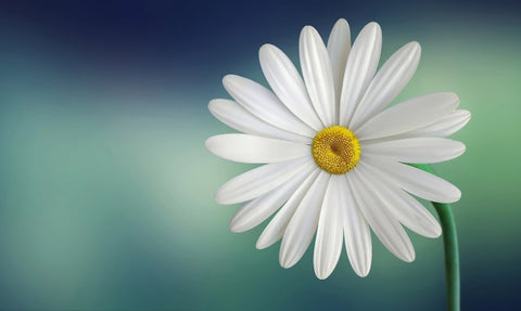 close up picture of a single daisy flower