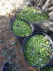 Fresh Harvested Olives