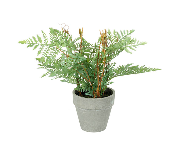 Fern Painted Lady Potted 26cm 30cm Green