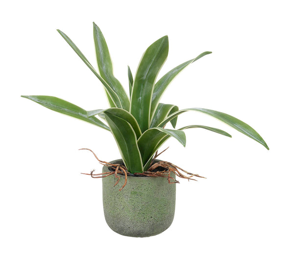 Potted Agave Green 18cm