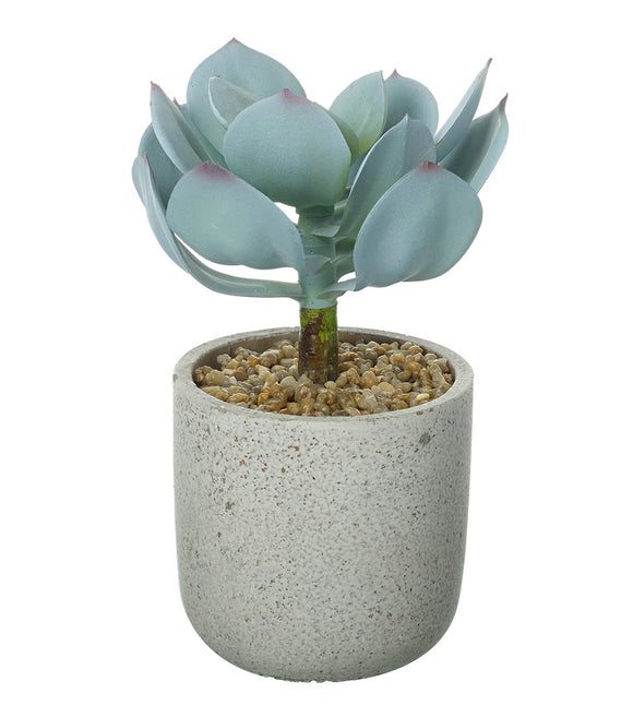 Potted Echeveria Dusky Green 18cm
