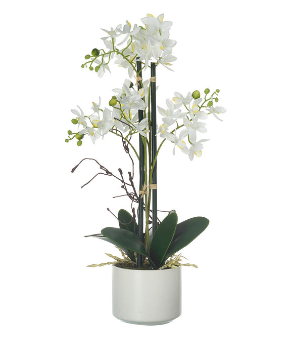 POTTED PHALAENOPSIS WHITE Height 23cm