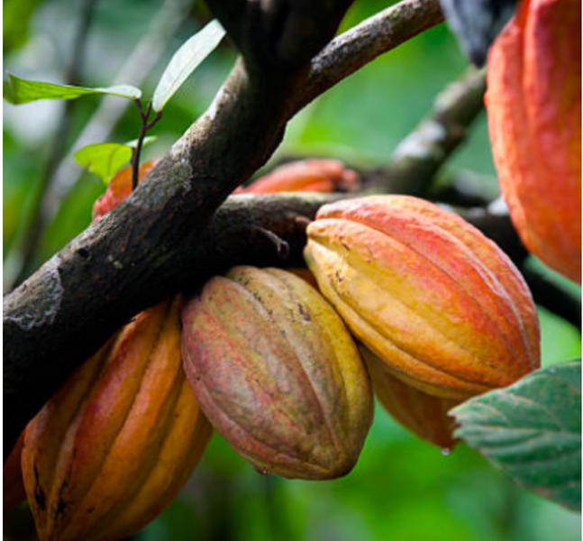 Harvesting Practices Between Coffee and Cacao