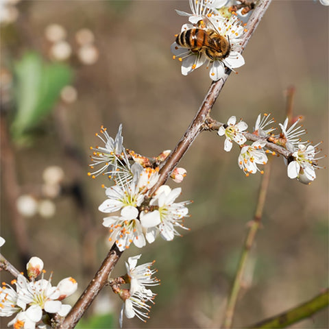 A photo of a honey bee on a branch of a white flower tree