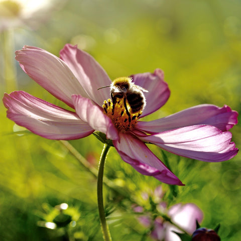 A honeybee sitting in the middle of a purple flower to get some pollen