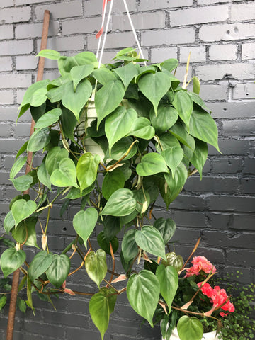 Hanging Heartleaf Philodendron