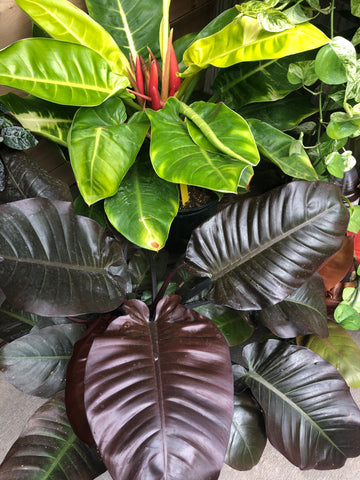 Hybrid Philodendron