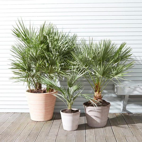 palms trees in containers