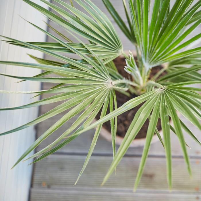European Fan Palm in a container