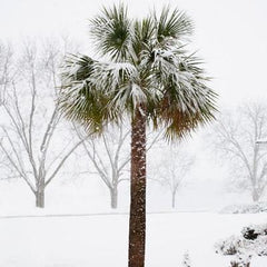 cold hardy palm trees