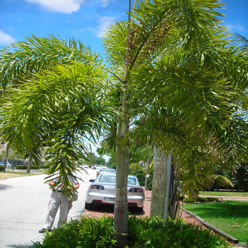 Foxtail Palm Tree