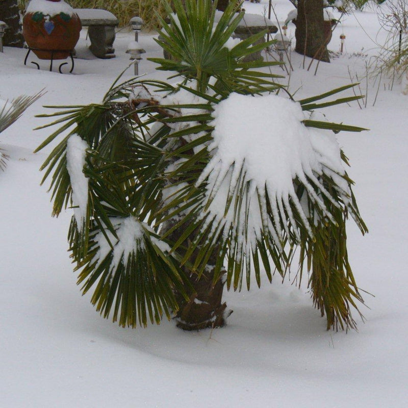 Dwarf Palmetto Tree