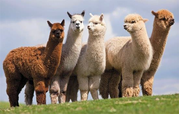 Why We Love Our Alpaca Socks