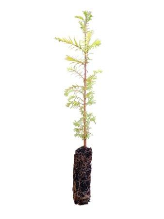 Dawn Redwood Tree **Pre-sale