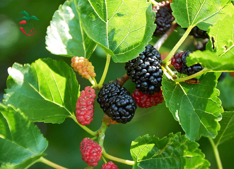 Red Mulberry Tree ***Pre-sale