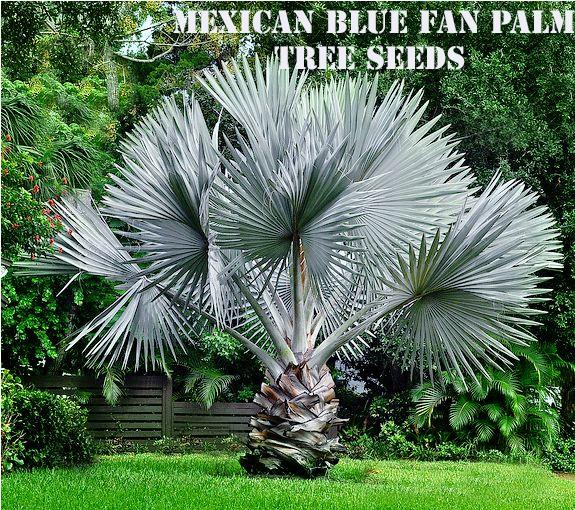 MEXICAN BLUE FAN PALM TREE SEEDS
