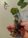 Wasabi – Edible Plants - Ready to Grow Plant - Perennial Plants for House