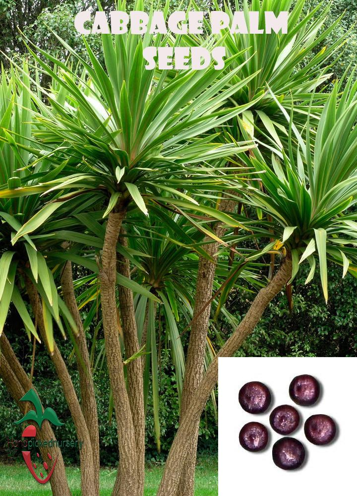 10  Cabbage Palm seeds, ( Sabal palmetto ) from Hand Picked Nursery