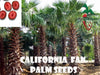 10 California Fan Palm seeds, ( WASHINGTONIA FILIFERA ) from Hand Picked Nursery