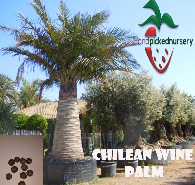 10  Chilean Wine Palm seeds, ( Jubaea chilensis ) from Hand Picked Nursery