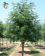 Thornless Honeylocust Tree - 2 year old (10) from Hand Picked Nursery