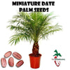 10  Miniature date palm seeds, ( Phoenix Roebelenii ) from Hand Picked Nursery