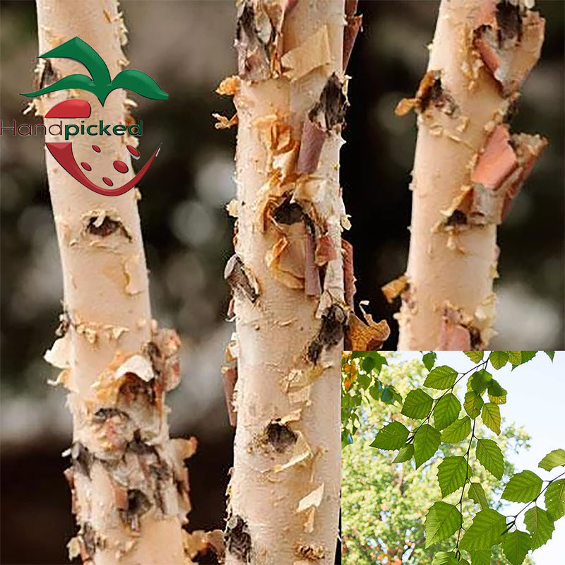 River Birch Tree 2 to 3 feet ***Pre-sale