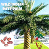 10  Wild Indian Date Palm seeds, ( Phoenix sylvestris ) from Hand Picked Nursery