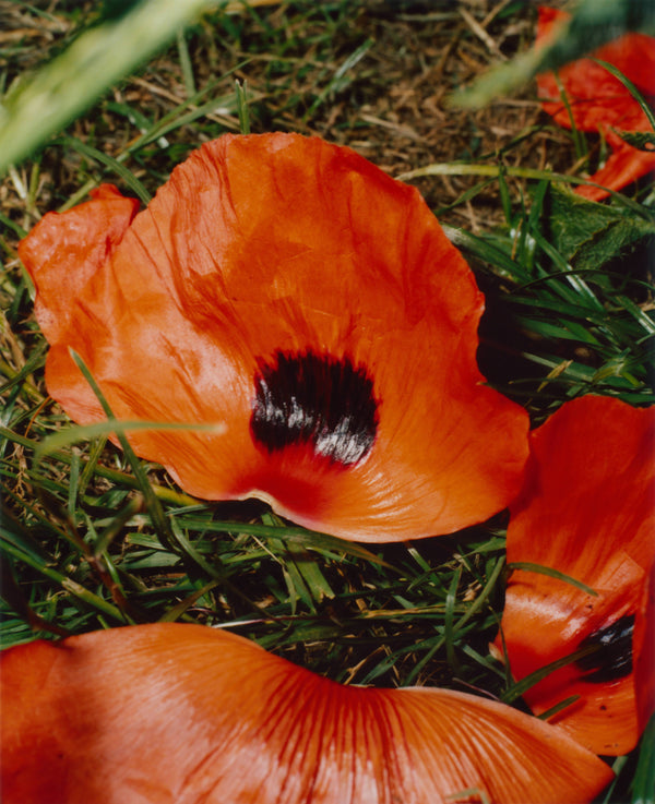 Poppy Flowers II (Bad Husbandry)