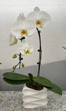 Load image into Gallery viewer, Waterfall Phalaenopsis Orchid Garden