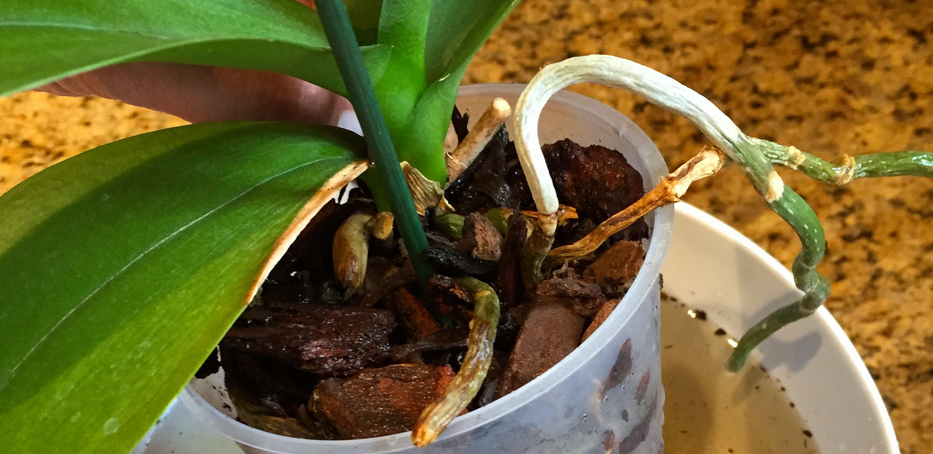 Repotting Orchids Orchid Care Part I Earthworm Technologies