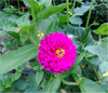Earthworm-Technologies-Purple-Zinnia-Bedazzle-BloomPucks