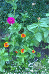 Earthworm-Technologies-Orange-Purple-Zinnia-Bedazzle-BloomPucks