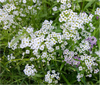 White-Sweet-Alyssum-Bumblez-BloomPucks