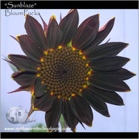 Giant-Chocolate-Burgundy-Sunflower-Sunblaze-BloomPucks