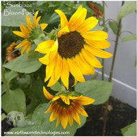 Giant-Orange-Yellow-Sunflower-Sunblaze-BloomPucks