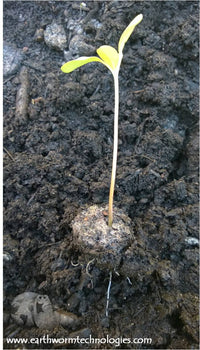 Earthworm-Technologies-Sunblaze-Sunflower-Roots-BloomPucks